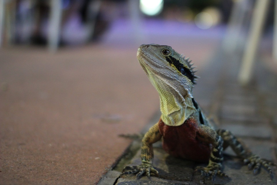 Being a lizard in Brisbane