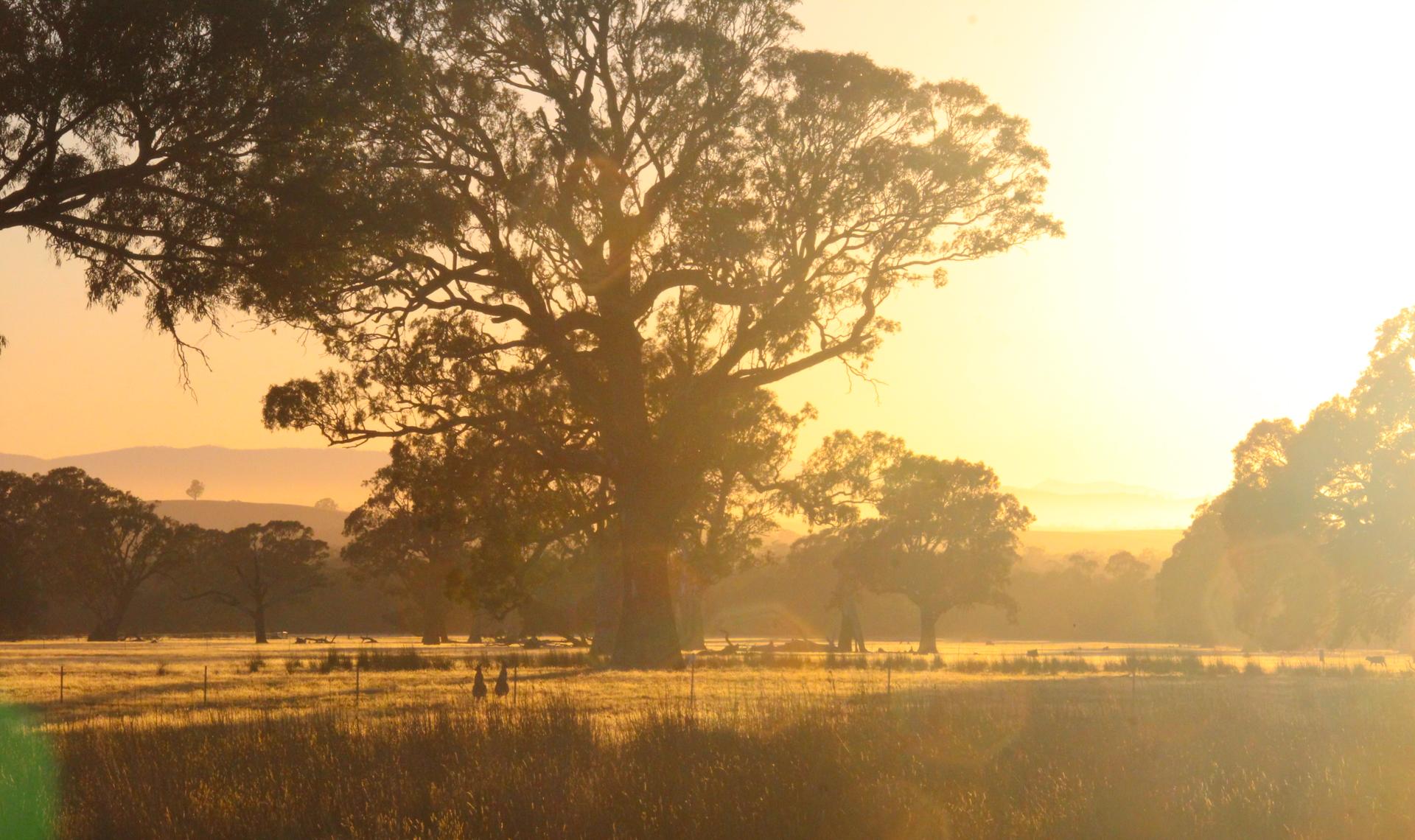 Grampians Sunrise 4 - two kangaroo